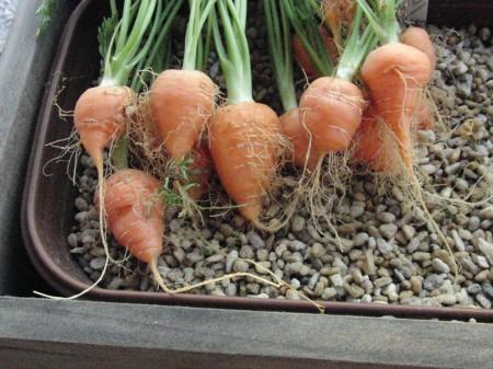 丸型ミニにんじんの収穫
