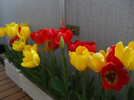 ベランダに咲くチューリップ